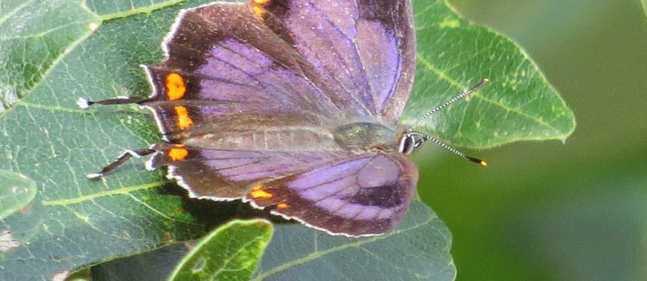 Colorado's State Insect:  Colorado Hairstreak Butterfly