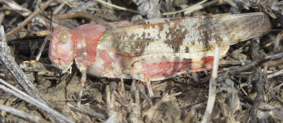 The Great Grasshopper Hunt II